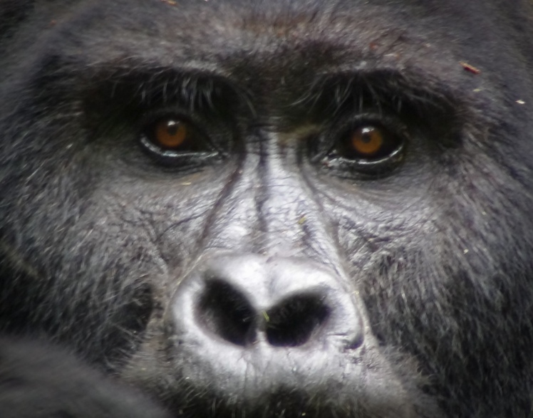 The eyes of a silverback