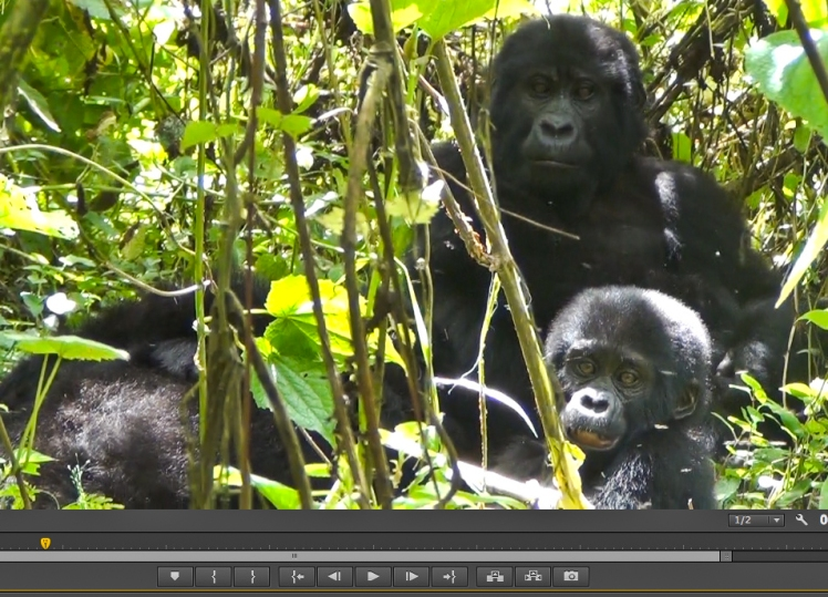 Screenshot of the video footage I got of a mummy and baby gorilla