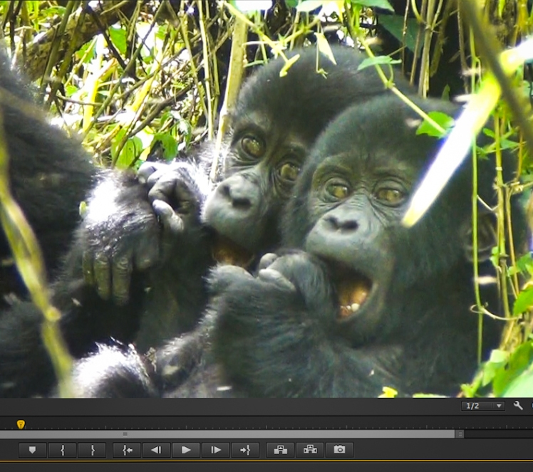 (Screenshot of personal video footage) Cheeky baby gorillas